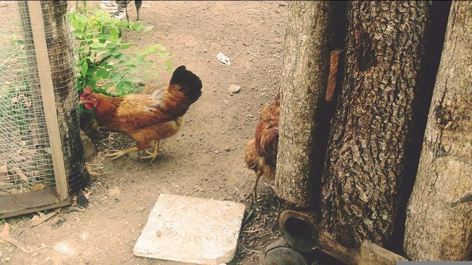 Chickens_Mites