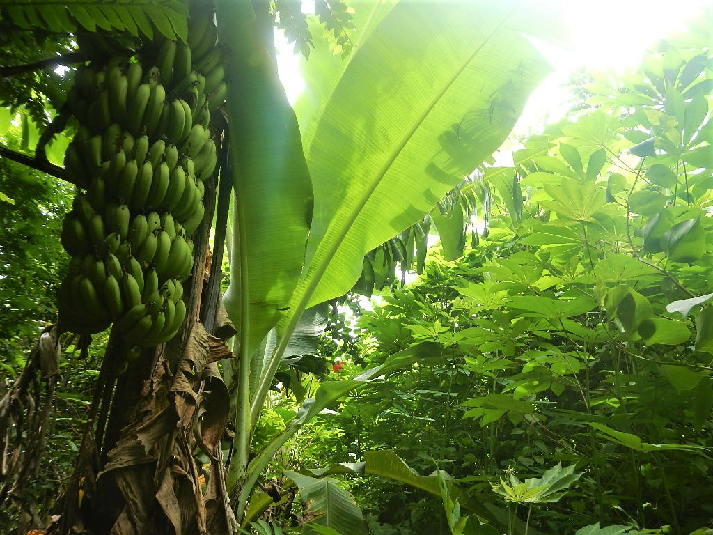 Banana_Yucca_Permaculture