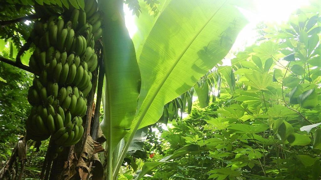 banana_yukka_ometepe_nicaragua