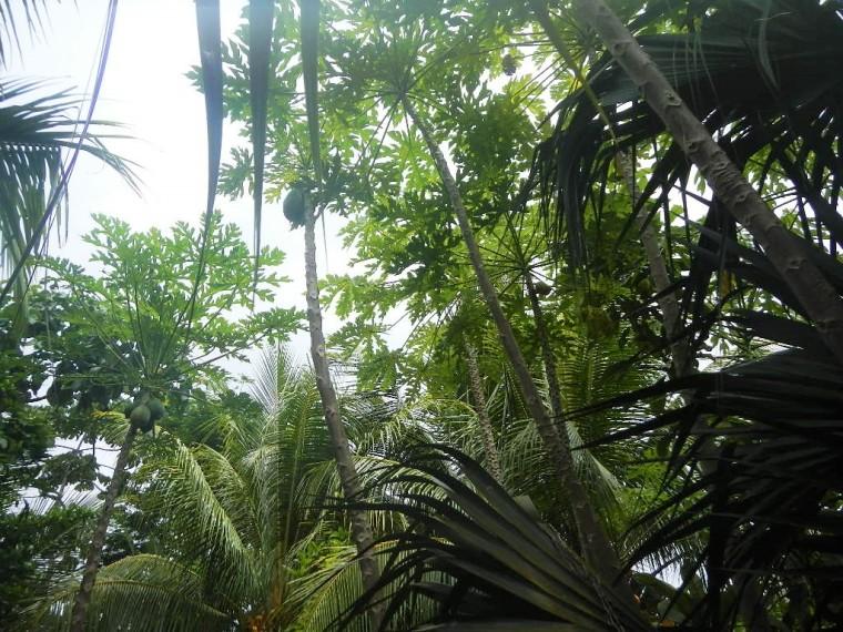 Papayas_Permaculture